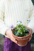 Child's hands holding potted viola