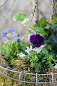 Spring-flowering plants planted in wire basket