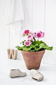 Large-flowered, pink and white German primrose in old terracotta pot behind child's shoes