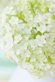 Viburnum flower (close-up)