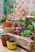Home-grown seedlings in terracotta pots and coffee mug in and in front of rustic wooden trug
