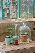 Young melon plants protected by glass cover and upturned wineglass and seedlings in ceramic mug on wooden crate