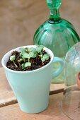 Seedlings kept moist in ceramic mug on wooden surface