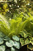 Ferns and various hostas in garden