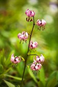Turk's cap lily in garden
