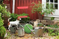 Dog amongst old watering cans and planters on stone steps leading to front door