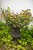 Purple and yellow violas in antique urn-style planter