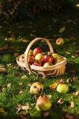 Apple harvest in basket on grass