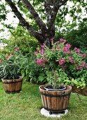 Violett blühender Strauch im Pflanzentrog im Garten