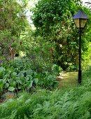 Laterne als romantische Beleuchtung in naturnahem Garten mit Bergenien und Farn