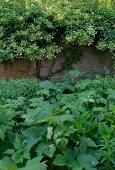 Verschiedene Grünpflanzen vor begrünter Gartenmauer