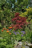 Roter Ahornbaum, Feuerlilie und Himalaya-Storchschnabel in sommerlichem Garten