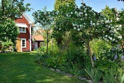 Schneeball-Baum in sommerlichem Garten, im Hintergrund Schwedenhaus