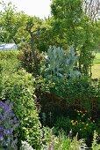 Dicht bewachsener Bereich mit Eselsdistel (Onopordum acanthium) im Garten
