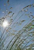 Blick von unten durch Ziergras in blauen Himmel mit scheinender Sonne