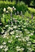 Bärwurz, gelbe Iris und Wiesenknöterich in sommerlichem Garten