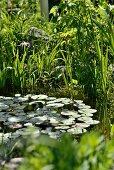 Seerosen auf Teich und blühende Iris