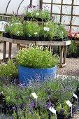 Pflanzenschule mit blau und weiss blühenden Lavendelpflanzen in schwarzen Plastikblumentöpfen und in einem blauen Holzzuber