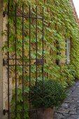 Schmiedeeisernes Torgitter an weinberankter Fassade, Pflanztopf auf gepflastertem Zugang