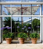 Tontöpfe mit blühenden, violetten Schmucklilien vor Wintergarten