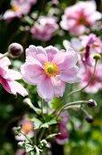 Zartrosa blühende Herbstanemone 'Königin Charlotte'