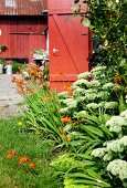 Sedums and crocosmia in garden outside wooden house painted Falu red