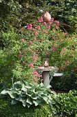 Large-leafed hosta and flowering rose climbing on metal trellis arbour over seating area