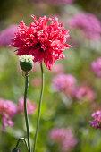 Flowering poppy 'Scarlet peony'
