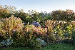 Asterngruppen, Gräser und Gehölze an sonnigem Herbsttag in ländlicher Staudenbeet- Gärtnerei