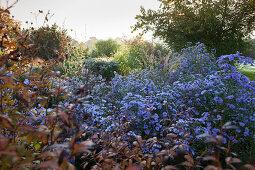 Lilablühendes Asternbeet umgeben von Büschen in tiefstehender romantischer Herbstsonne