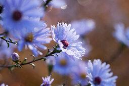 Lilafarbene Winteraster-Blüten in mit Tautropfen