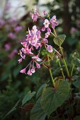 Herbststaude mit zarten rosaroten Blüten (Begonia grandis ssp. evansiana)