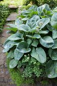 Hosta with large leaves in garden