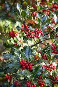 Red berries on bush