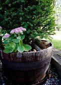 Yew and sedum planted in old wooden half-barrel with iron hoops