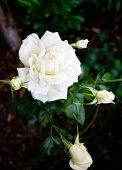 White-flowering rose in planter