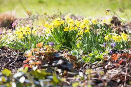 Frühlingsgarten mit Narzissen und Blaustern