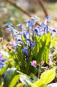 Blaustern im Garten