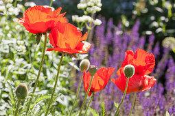 Blühender Klatschmohn in sonnigem Garten