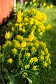 Yellow tulips (variety: 'West point') and spurge in sunny garden