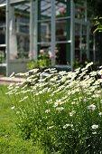 Blühende Margeriten im Garten