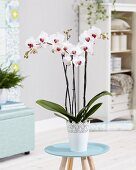 Phalaenopsis 'Dublin' orchid