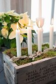 Moss and candles in vintage wooden crate as Advent wreath in front of white poinsettia