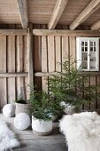 Small potted Christmas trees in rustic wooden house