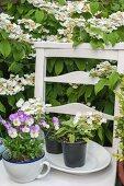 Weisser Holzstuhl mit Kräutern und Stiefmütterchen unter japanischem Schneeball im Garten
