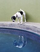 Dog on edge of concrete pool