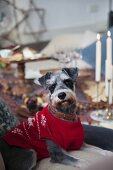 Grey Schnauzer wearing red Norwegian sweater