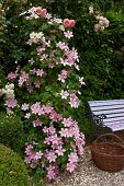 Pink-flowering clematis and roses next to romantic garden bench