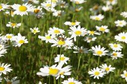 Bee on ox-eye daisy in meadow