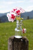 Bicoloured geraniums in small swing-top lemonade bottle on wooden post outdoors